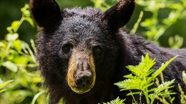 Black bear escapes wildlife rehab facility in Montana