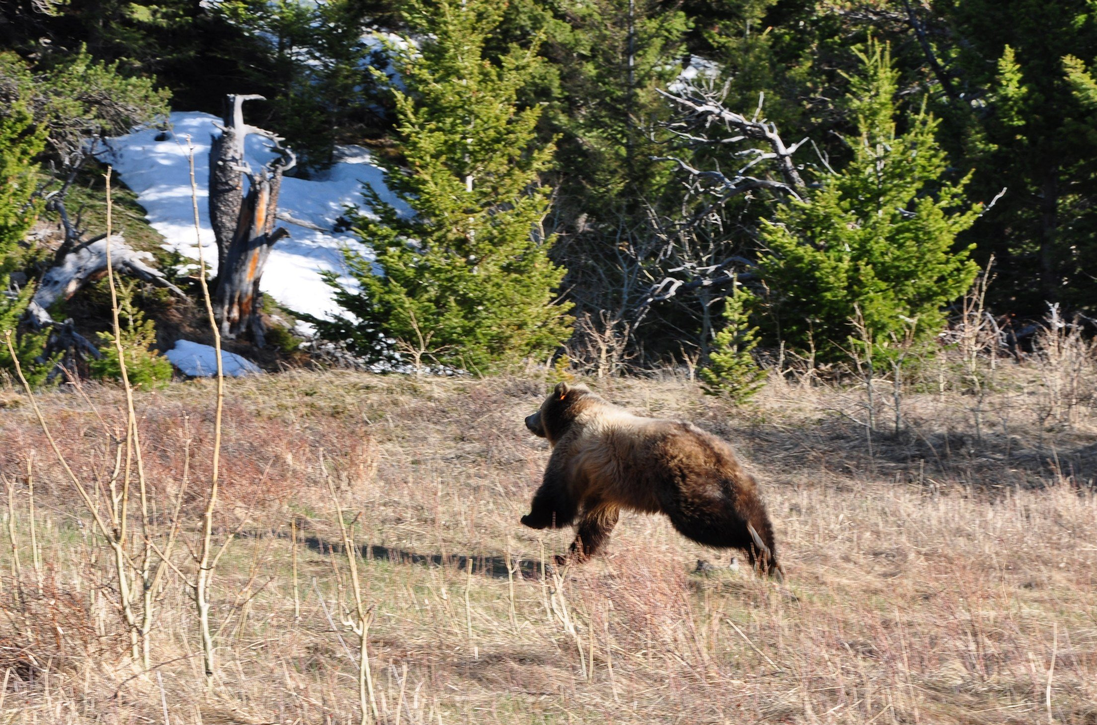 Female grizzly released on Sun River WMA