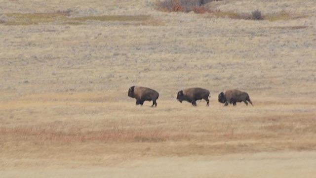 Discovering the future native american bison experience for Bison motors great falls mt